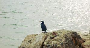Versione 2 di Cormorant fotografie stock libere da diritti