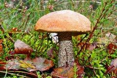 Versipelle del leccinum del fungo Immagini Stock Libere da Diritti