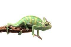 Versluierd die Kameleon op witte achtergrond wordt geïsoleerd Royalty-vrije Stock Foto's