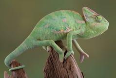 Versluierd Kameleon Royalty-vrije Stock Afbeeldingen
