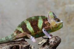 Versluierd Kameleon Stock Afbeelding