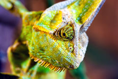Versluierd Kameleon (Chamaeleo-calyptratus) Stock Afbeeldingen