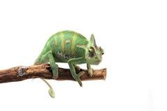 Versluierd Kameleon op witte achtergrond Royalty-vrije Stock Foto
