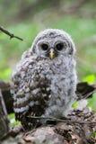 Versperd Owl Chick royalty-vrije stock afbeelding