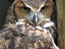 Versperd Owl Close omhoog royalty-vrije stock foto
