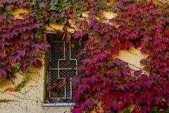 Versperd venster dat met kleurrijke de herfstbladeren wordt overwoekerd van klimop Royalty-vrije Stock Afbeelding