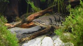 Versperde Polypterusdelhezi bichir, gepantserde bichir stock footage