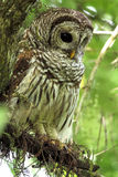Versperde uil die in een boom in Everglades van Florida wordt neergestreken royalty-vrije stock afbeelding