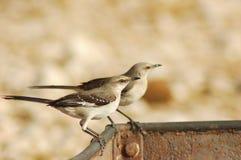 Verspottende Vögel Stockfoto