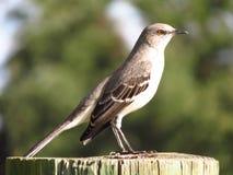 Verspottender Nordvogel, der auf dem Klotz stillsteht Stockfotos