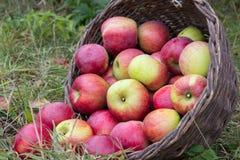 Verspreide appelen met mand Royalty-vrije Stock Foto
