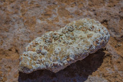 Verstarde zeeschelpen op het strand Stock Fotografie