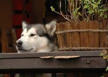 Verstecken des alaskischen Malamute Lizenzfreies Stockfoto
