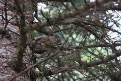 Verstecken-Eichhörnchen stockfotos