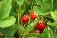 Versteckende Erdbeeren Lizenzfreies Stockbild