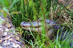 Versteckender Alligator Stockfotografie