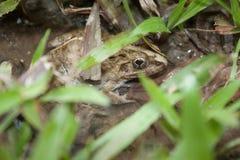 Versteckender Frosch Lizenzfreies Stockfoto