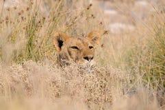 Versteckender Löwe Lizenzfreies Stockbild