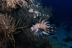 Versteckender Lionfish lizenzfreie stockfotos
