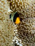 Versteckendes Clarks Clownfish Lizenzfreie Stockfotos