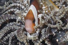 Versteckendes clownfish stockfotos