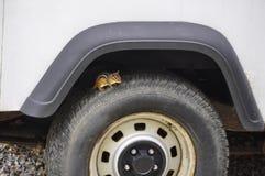 Versteckendes Eichhörnchen im gefährlichen Platz Stockbilder