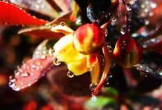 Versteckte Goldblume Blumen Stockbild
