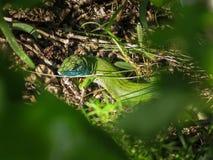 Versteckte grüne Eidechse - Smaragdeidechse 1 Lizenzfreie Stockbilder
