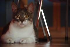 Versteckte Katze Lizenzfreies Stockfoto