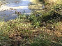 Versteckter Alligator Lizenzfreie Stockfotografie