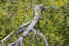Versteckter Nycticorax Nycticorax Stockfoto