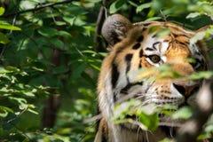 Versteckter Tiger Lizenzfreies Stockfoto