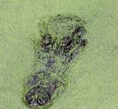 Verstecktes Krokodil Stockbild