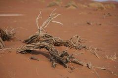 Versteende Acacia Stock Fotografie