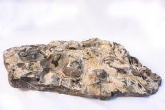 Versteinerte Austern im Siltstone lizenzfreie stockfotos