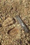 Versteinerte Entdeckung und Druck Trilobite auf dem Boden in den walisischen felsigen Sedimenten lizenzfreies stockbild