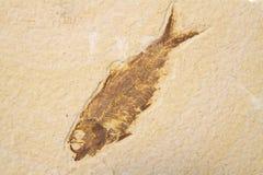 Versteinerte Fische Lizenzfreie Stockbilder