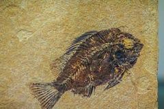 Versteinerte Fische Priscacara für Verkauf Priscacara ist eine ausgestorbene Klasse lizenzfreie stockbilder