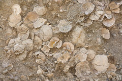 Shell-Fossilien Stockbilder