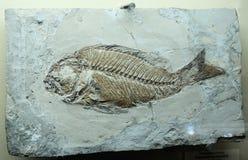 Versteinerte Reliktfische Impressum auf dem Stein stockfoto