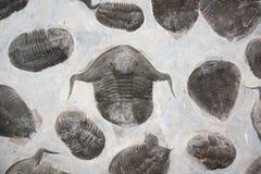Versteinerte versteinerte trilobites stockbilder
