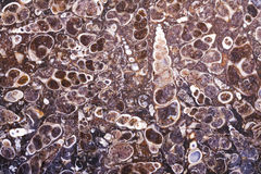 Versteinerte turritella Achatplatte Stockbilder