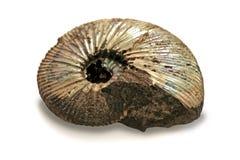 Versteinerter Ammonit lizenzfreie stockfotos