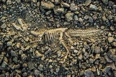 Versteinerter Dinosaurier Stockbilder