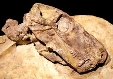 Versteinerter Dinosaurierkopf lizenzfreies stockbild