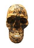 Versteinerter Schädel von Homo sapiens Stockbild