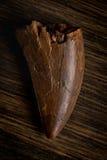 Versteinerter Tyrannosaur-Zahn, wahrscheinlicher Daspletosaurus lizenzfreie stockfotos