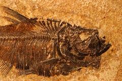 Versteinertes Fischdetail Stockfotos