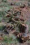 Versteinertes Holz, das nahe bei Wüstenpflanzen stillsteht Lizenzfreies Stockfoto