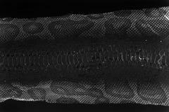 verstoßene Haut der Jacke Schlange königlicher Pythonschlange auf einem weißen Hintergrund Computerverarbeitung, Umstellung stockfotografie